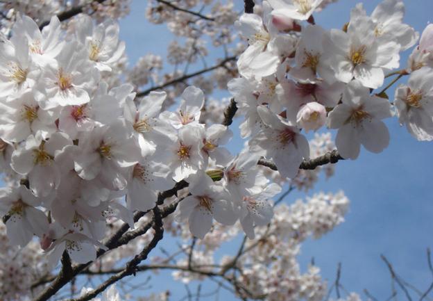 <b>日本旅游业又是一年赏花季</b>