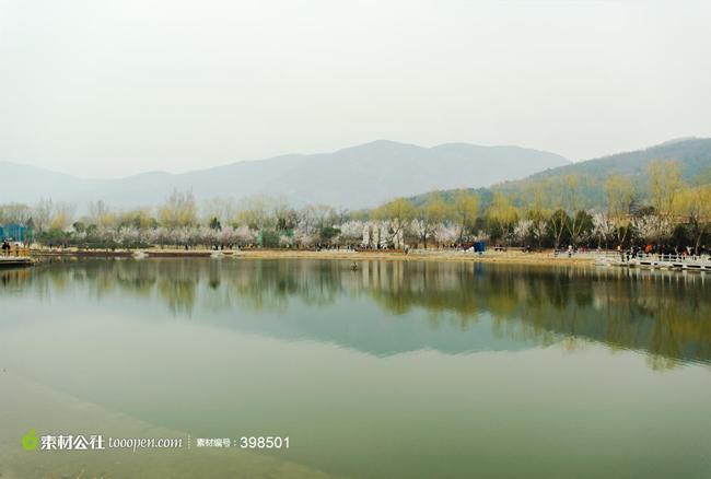 北京香山公园槐树