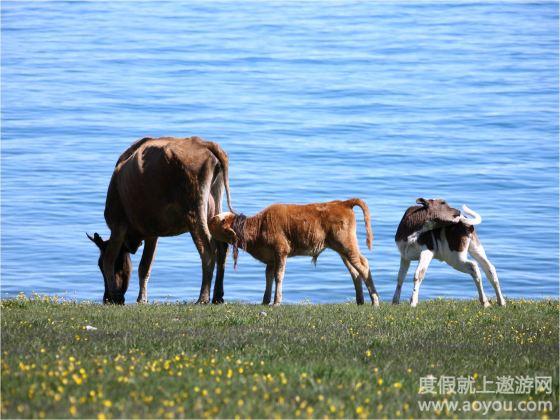 赛里木湖八月底牧民动物大迁徙转场