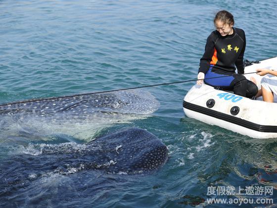 观看世界上最大的海洋动物—鲸鲨巡游表演